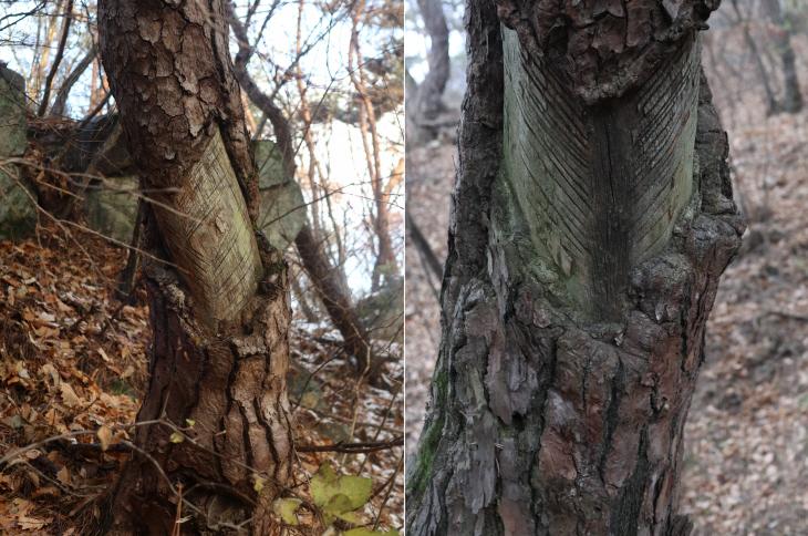 계룡산 소나무