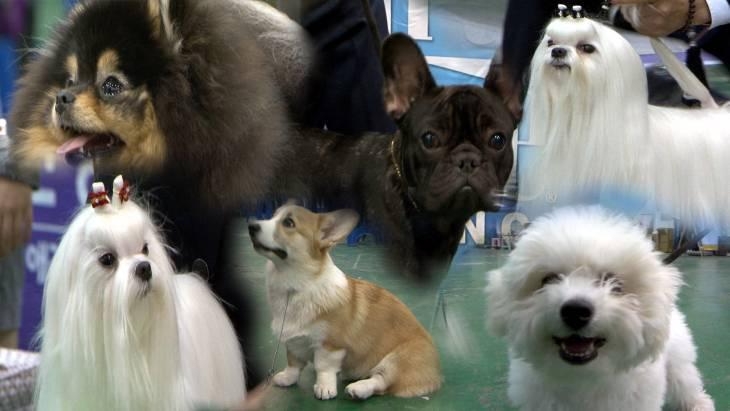 (영상)팔자 좋은 개(犬)님들 대전에 모였다! FCI대전국제도그쇼