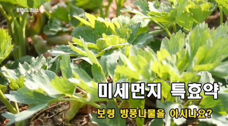[영상]미세먼지 특효약 방풍나물을 아시나요?