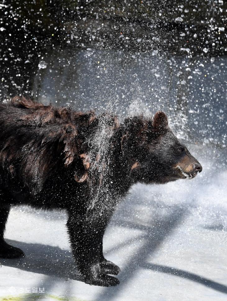 20180712-더위 피해 폭포로 들어간 곰