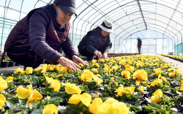 20190211-봄꽃 재배 한창2