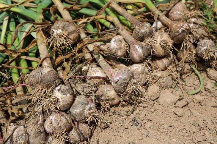 사본 -수확한 마늘 사진 (1)