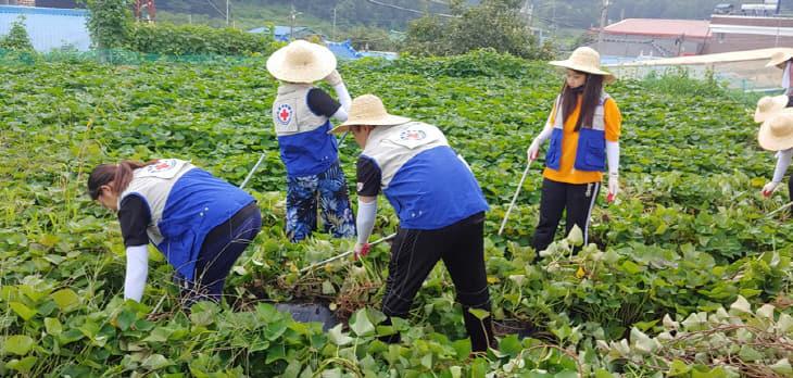 (사진)대한적십자사 대학RCY 농촌봉사활동
