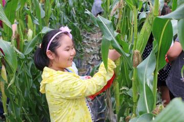 외산초등학교 옥수수수확 체험모습 (1)
