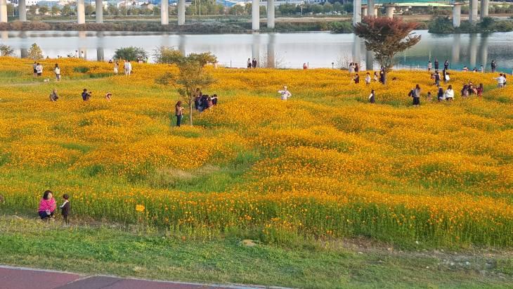대전 가을꽃 명소 갑천 황화 코스모스를 소개합니다.