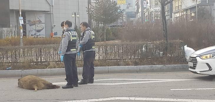 대전 관저동 도심 멧돼지 출몰! 한바탕 소동