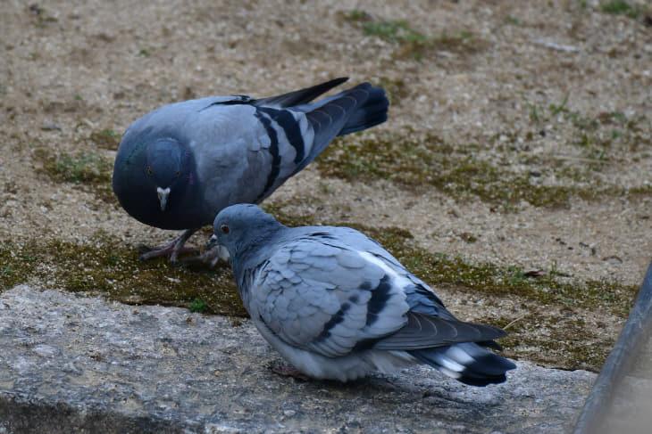 화엄사 경내의 비둘기