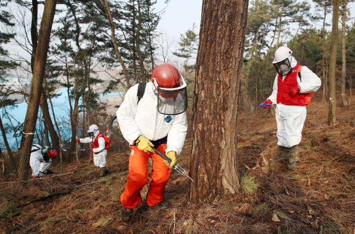 소나무재선충병 예방 나무주사 작업 (2)