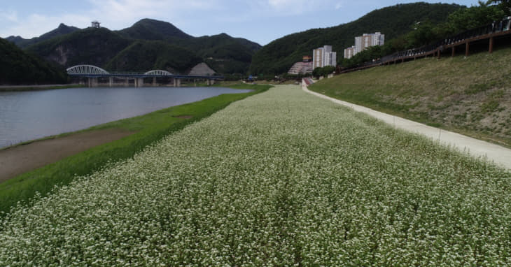 보도1)지난해 메밀꽃밭 드론사진1