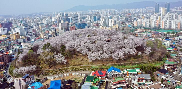 20200401-도심 속 벚꽃3
