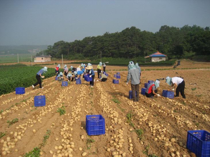 사본 -감자재배농가 수확 사진