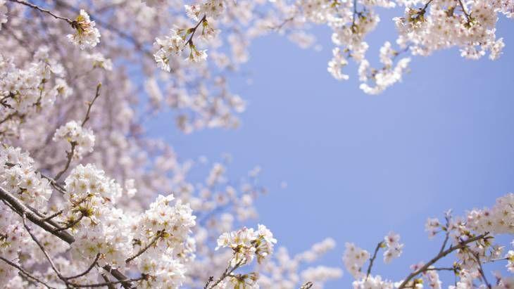 3분 벚꽃 나들이(?) 대전 사정공원 벚꽃길 Drive Thru