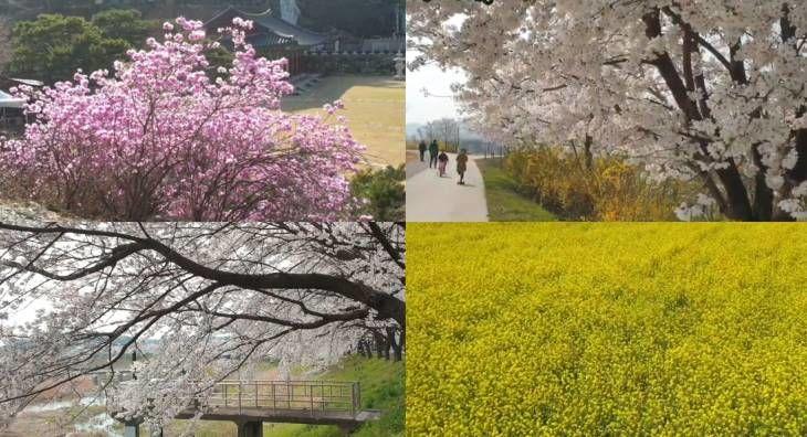 안방에서 랜선으로 즐기는 세종 봄꽃놀이(세종 봄꽃명소 BEST6)