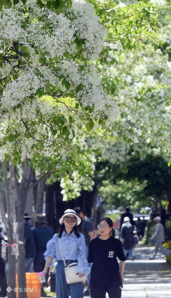 만개한 이팝나무