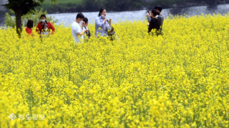 갑천변꽃단지에 만개한 유채꽃