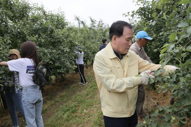 과수 농가를 방문해 사과 열매 솎기 작업을 하는 김지철 교육감