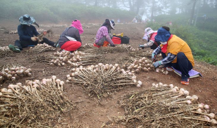 가의도 육쪽마늘 종구수확 (1)