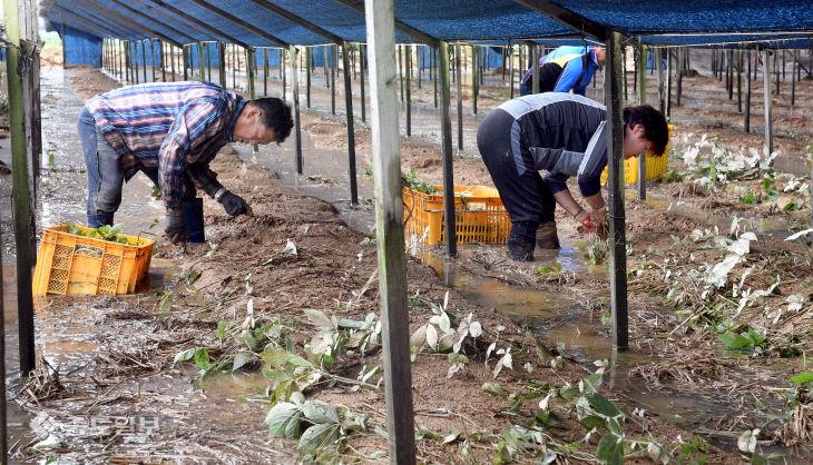 20200810-침수 피해 인삼 수확