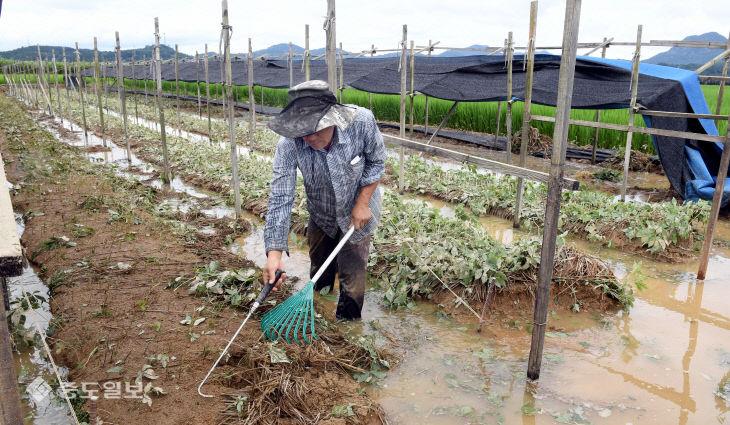 20200810-침수 피해 인삼 수확3