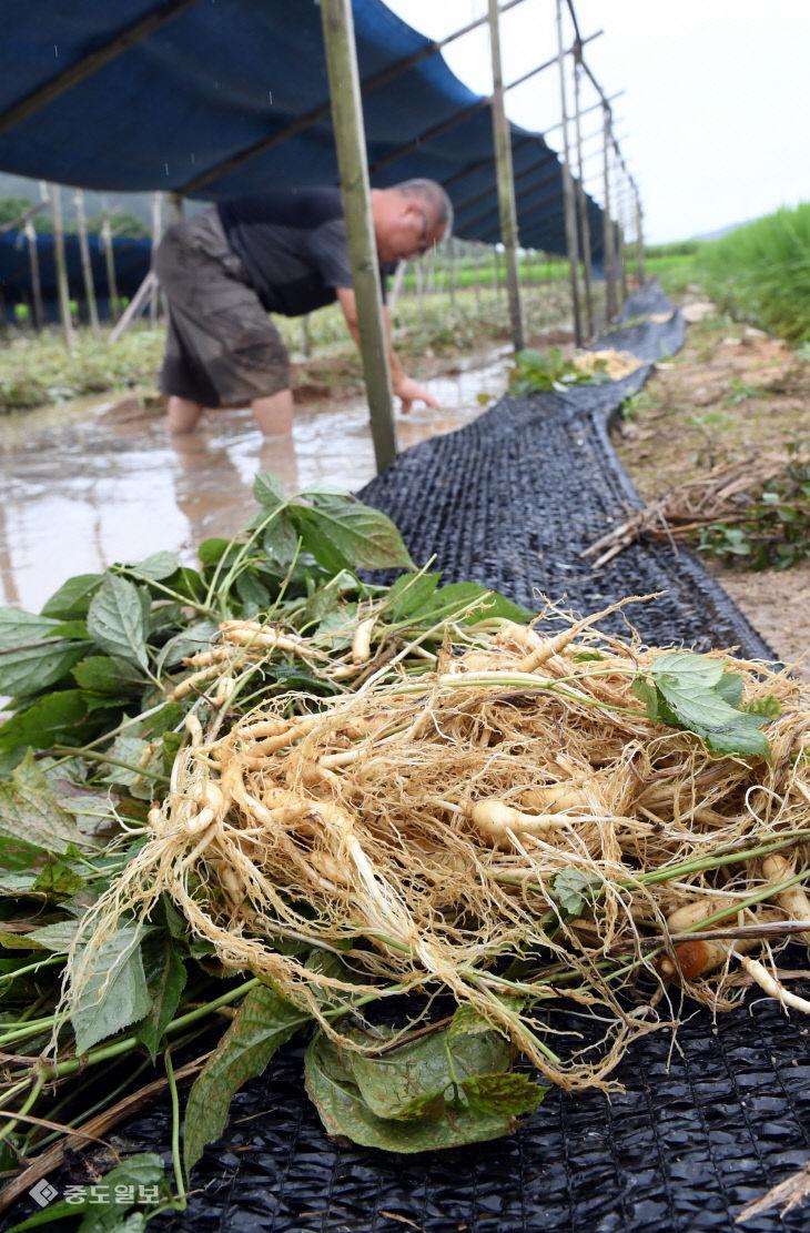 20200810-침수 피해 인삼 수확6