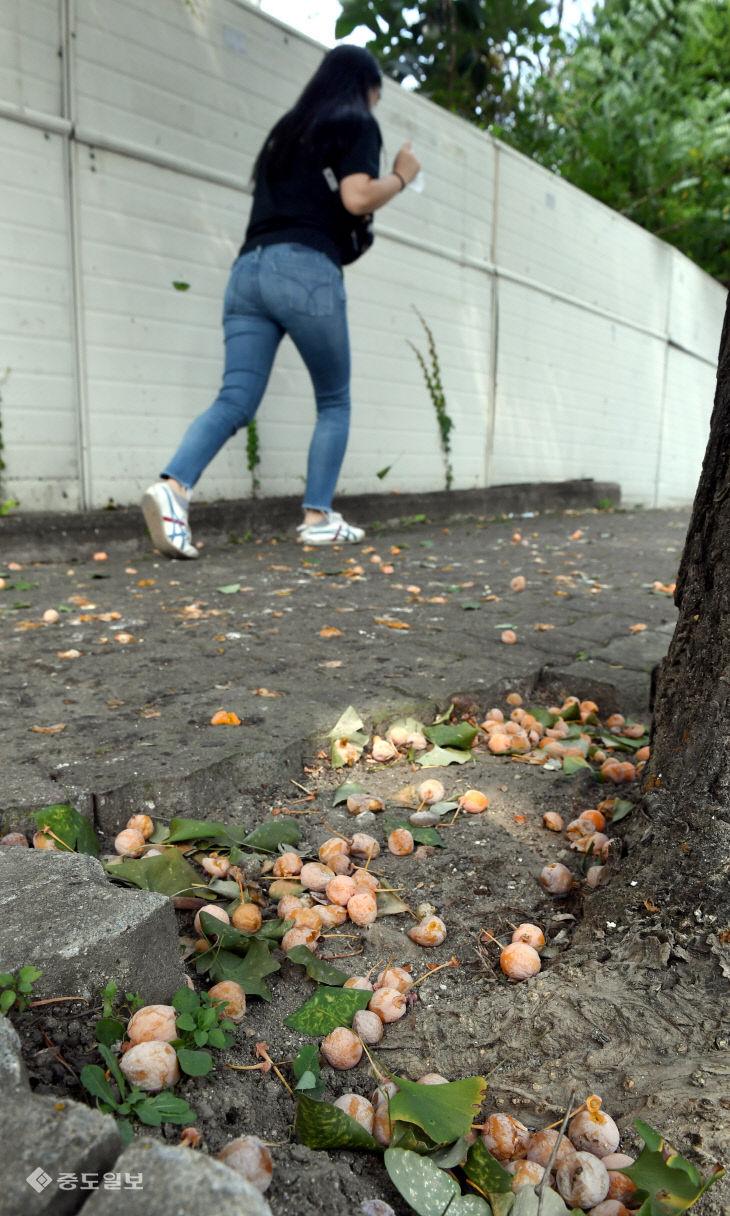 가을 불청객 '은행나무 열매'…시민들은 불편