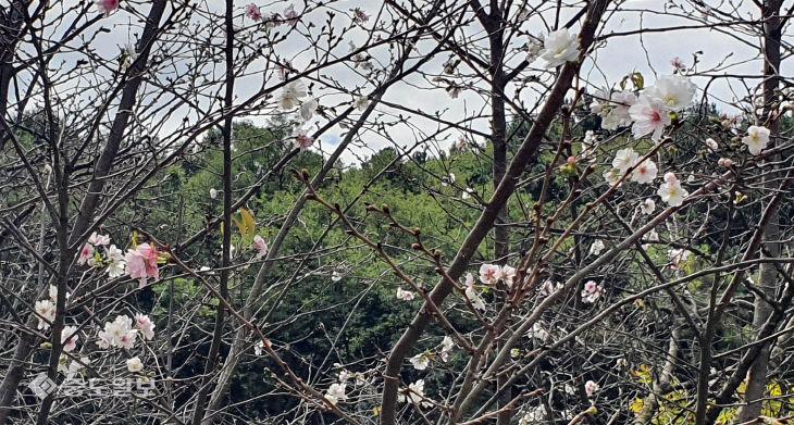 가을에 꽃망울 터트린 벚꽃과 장미