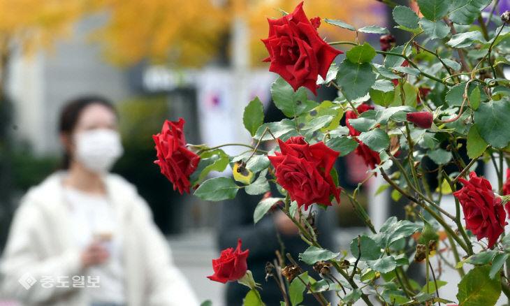추위 무색케하는 만개한 장미꽃…내일 더 춥다