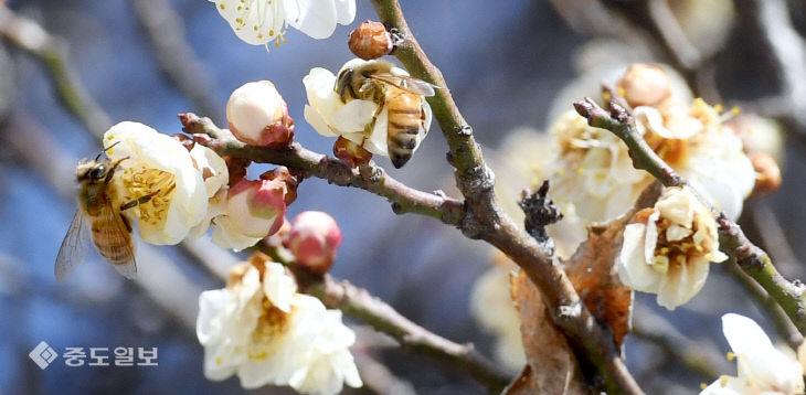 20210221-매화와 꿀벌1