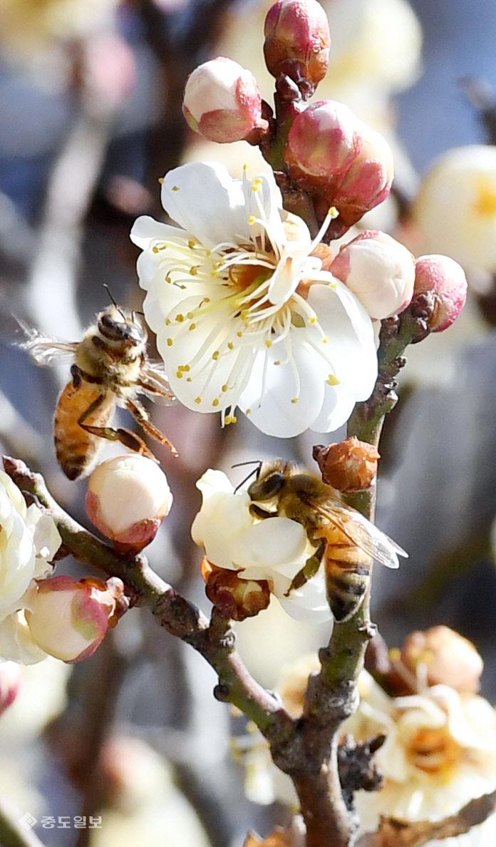 20210221-매화와 꿀벌