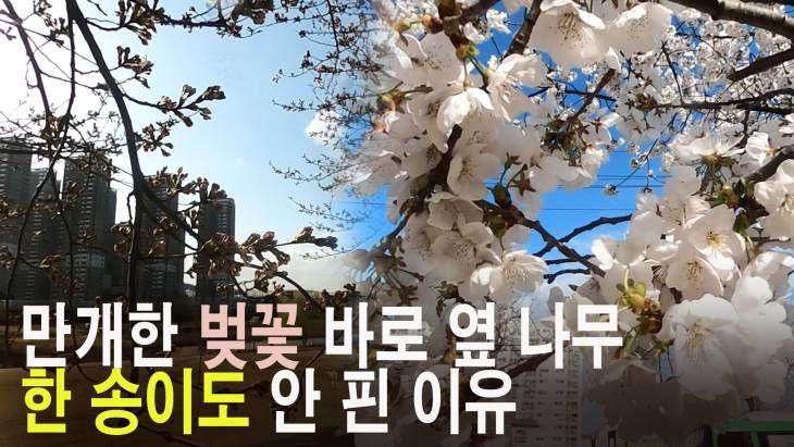 만개한 벚꽃 바로 옆나무는 한 송이도 안 핀 이유