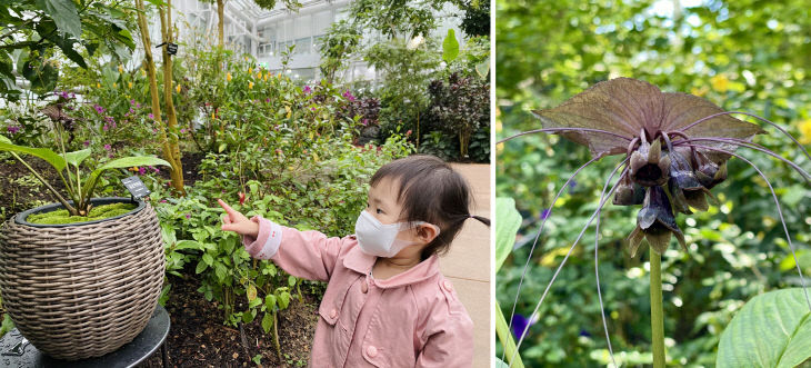 국립세종수목원 검은박쥐꽃 사진