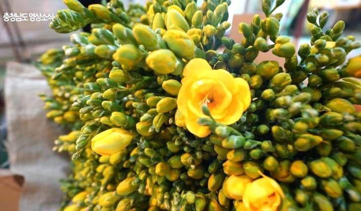 [충청남도 영상소식] `나의 행복 프리지어` 부여 화훼농가 방문기