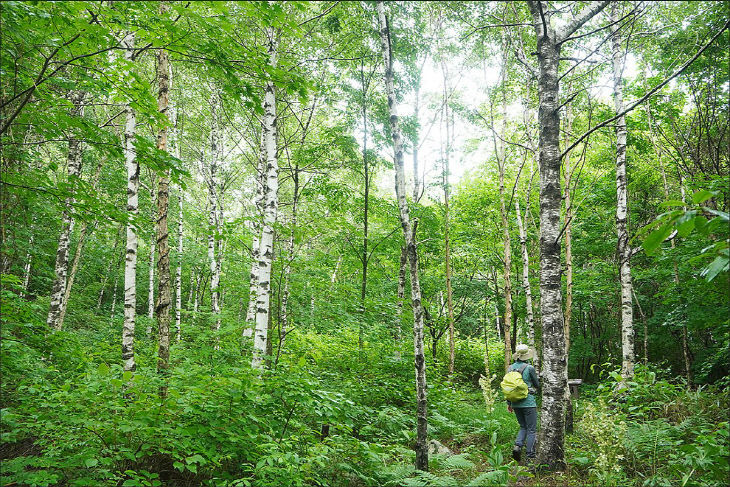 사진1_청옥산(자작나무 숲길)